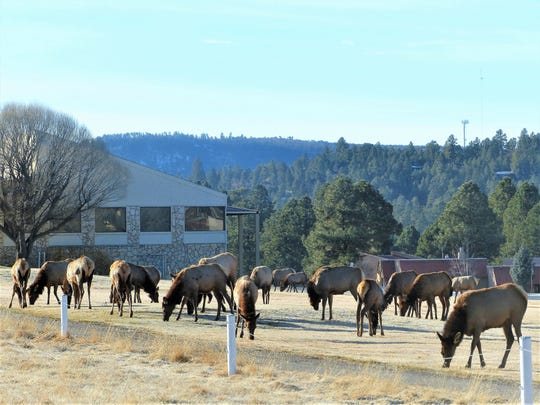 Breakfast diners at Cree Meadows Golf and Country Club were treated to a visitation on the golf course by one of Ruidoso's resident elk herds, who just may have delayed a tee-off time or two.