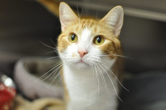 Spuddy Buddy the cat is part of the new program called Destination Home at the Oshkoah Area Humane Society.