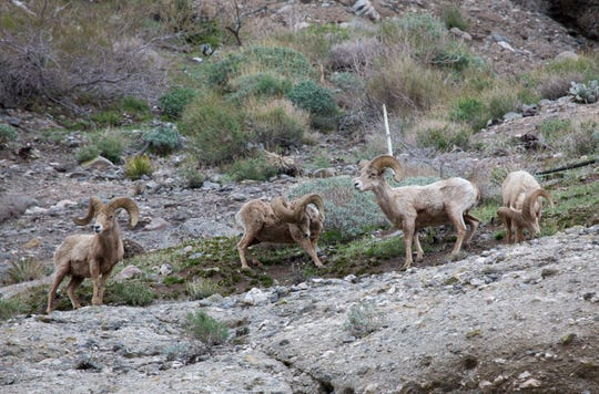 Four bighorn sheep rams on the cliffs at The Wildlands Conservancy's Whitewater Preserve