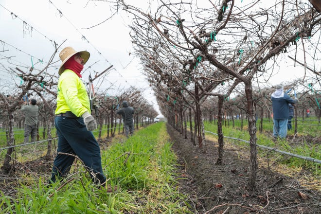Farm workers prune grape vines at a farm in Thermal, Calif., January 15, 2018.