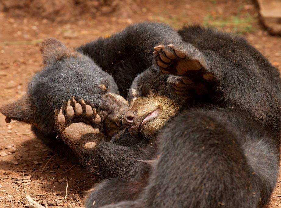 For black bear cubs Cubbie and Rizzo at Bearizona, hugging also means play time.