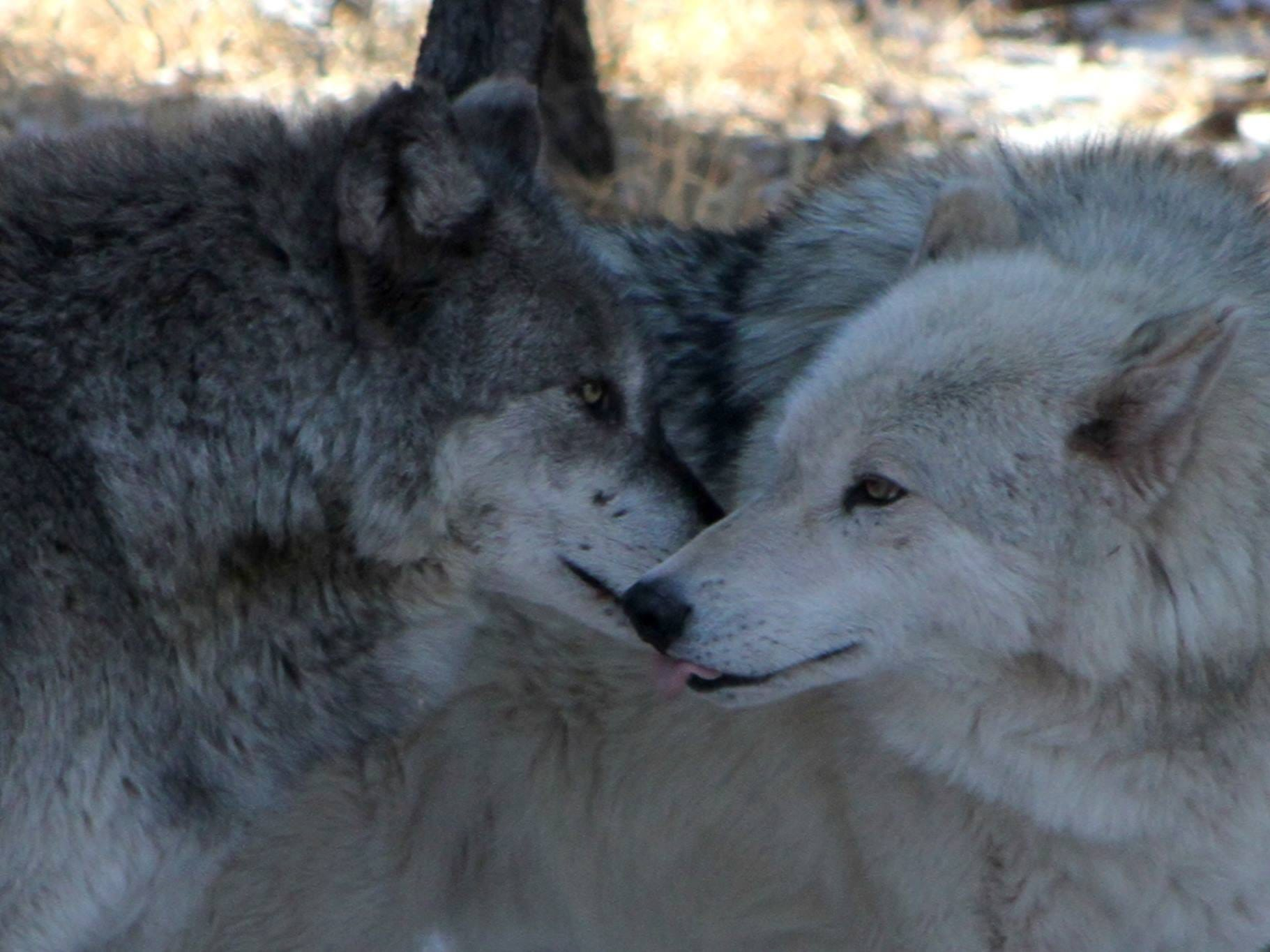 Hugs and kisses from Alaskan Tundra wolves Shadow and Geronimo.