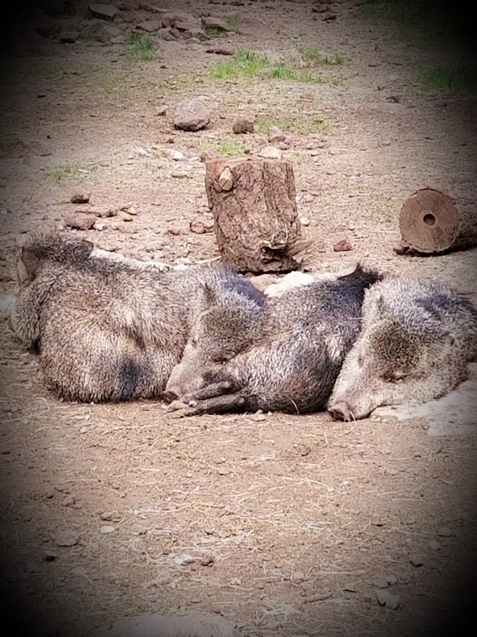 A nap sounds good, especially on National Hugging Day, for Javelinas Olivia, Joe, Bacon Bit and Jerome.