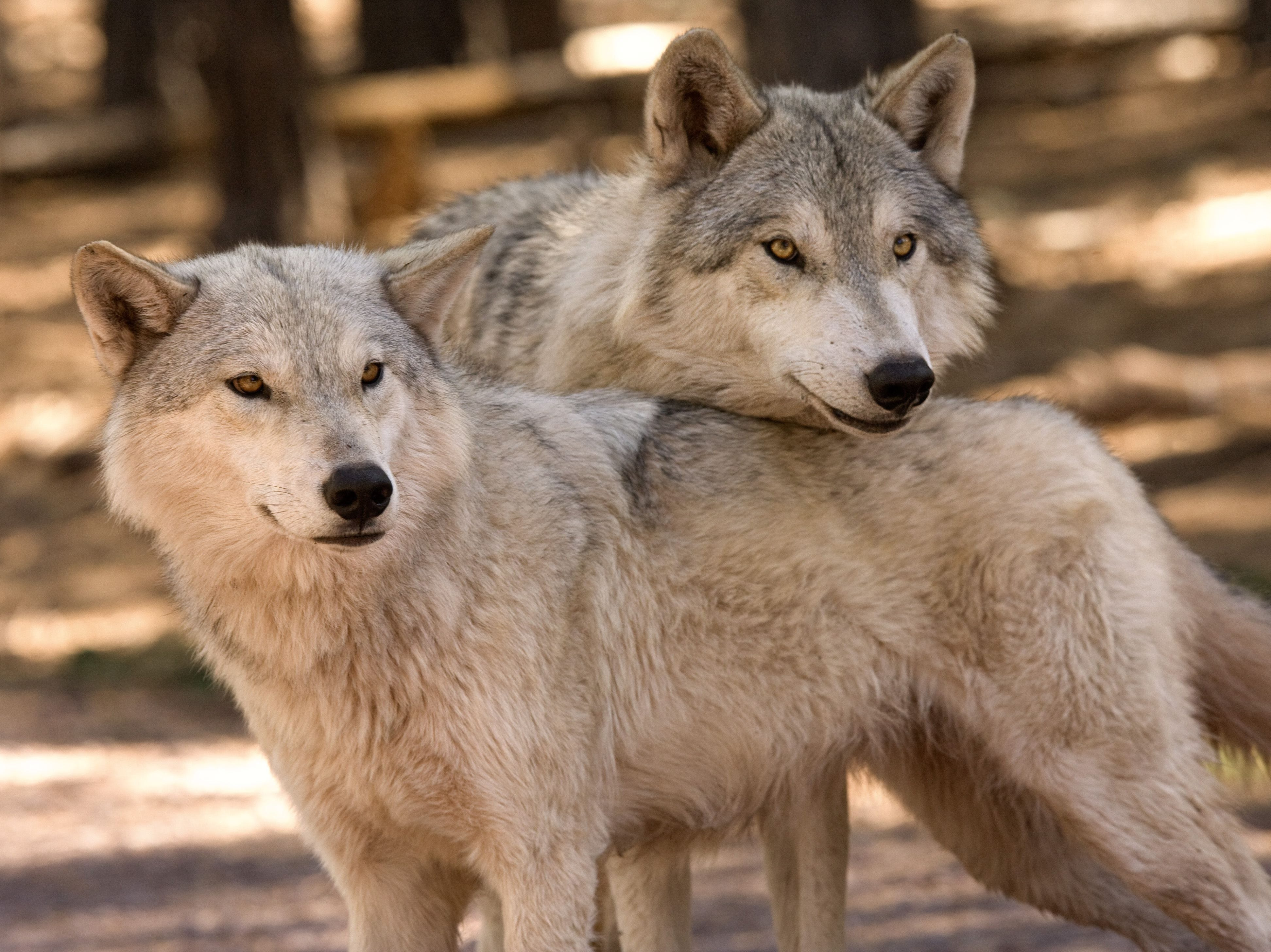 Bearizona Alaskan Tundra wolves Kay and Geronimo, they don't have to hug to know they've got each other's backs.