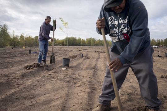 Workers dig holes to plant willow and cottonwood trees, December 7, 2018, at the Laguna Grande Restoration Area on the Colorado River Delta. The willow and cottonwood trees are watered with Colorado River rights that conservationists groups have purchased from Mexican farmers.