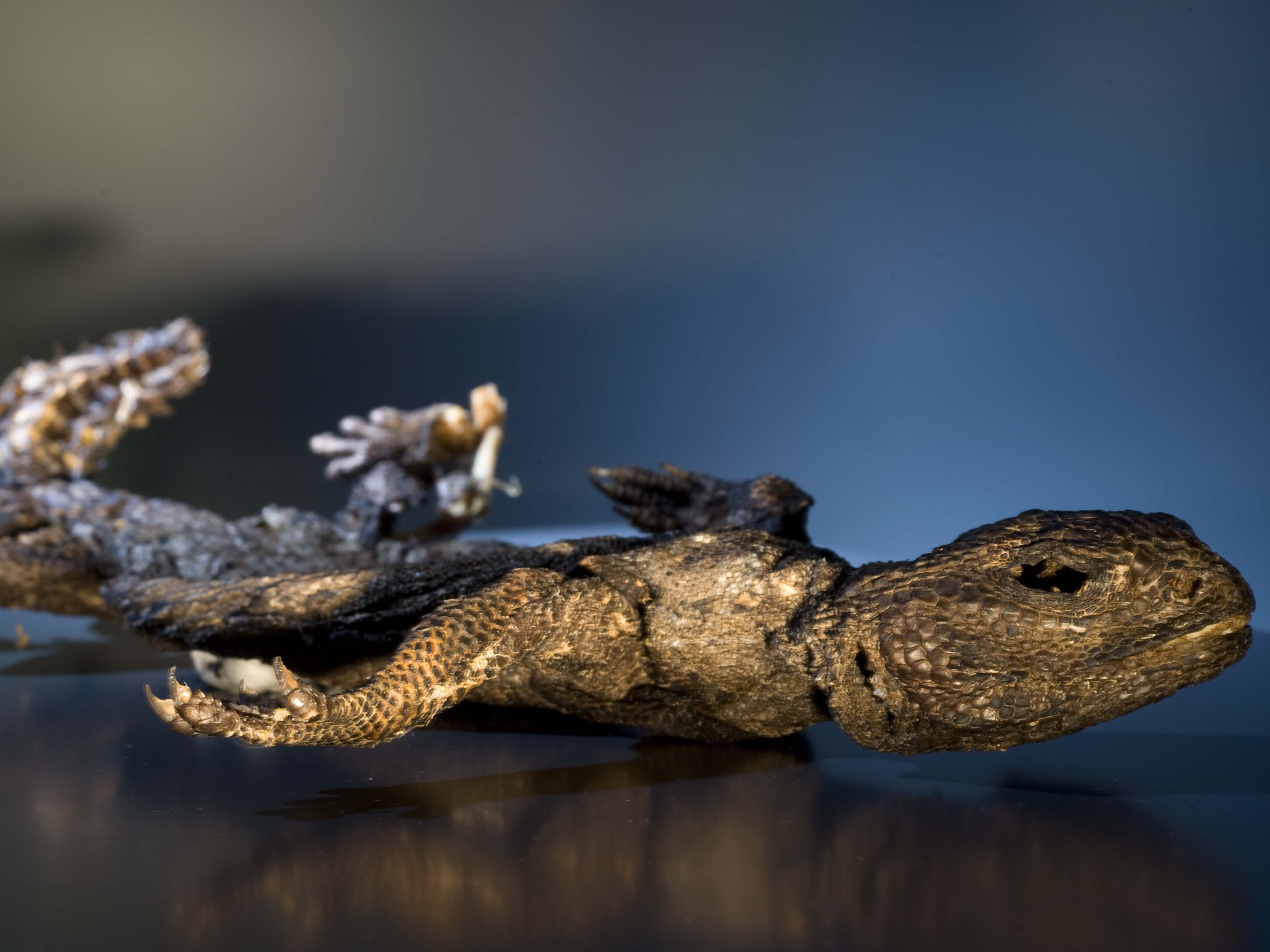 This spiny-tailed lizard from the Sahara Desert is an example of a modern-day mummy and is probably less than 100 years old. It was mummified by the hot, dry air of the desert. This lizard is part of the Mummies of the World: The Exhibition at the Arizona Science Center.