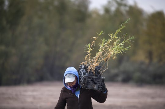 Aide Ramos Wong carries a basket of willows, December 7, 2018, at the Laguna Grande Restoration Area in Mexico.