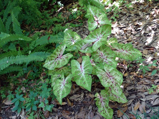 The Tallahassee Garden Club will be offering caladiums in February.