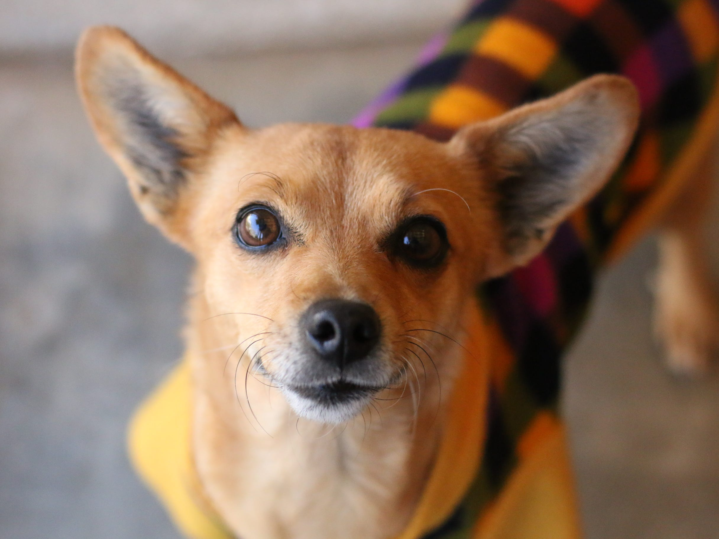 Joanna is a little Chihuahua mix, about 4 years old. We don't know her history, but she is a funny, playful little dog. Joanna is spayed.She should be an only pet in a home with no small children.You can meet Joanna at the Humane Society of Ventura County in Ojai. Her adoption fee of $120 includessterilization, vaccinations, microchip implantation, free veterinarian visit,ID tag anda fun new family member.For more information on Joanna or other available animals, or to volunteer, please call 805-646-6505 or visit www.hsvc.org.The shelter is located at 402 Bryant St.,Ojai.Hours are 10 a.m. to 5 p.m. Monday through Saturday. The shelter can also provide information about help with animal evacuations during storms.