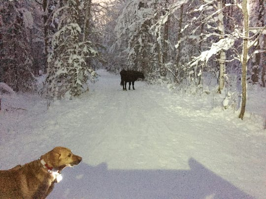 "In this Dec. 26, 2018 photo provided by Meg Kurtagh shows a cow in the middle of on the east side of Anchorage. A rodeo cow named Betsy has evaded capture for months as she wanders the trails of Alaska's biggest city, the cow's owner said. The 3-year-old cow ""busted out"" of a pen before participating in junior events at the Father's Day Rodeo in Anchorage, rodeo promoter Frank Koloski told the Anchorage Daily News. Betsy headed to the Hilltop Ski Area and was spotted grazing on slopes during the summer, Koloski said. She then moved to the network of trails that crisscross the Anchorage Hillside when snow fell."