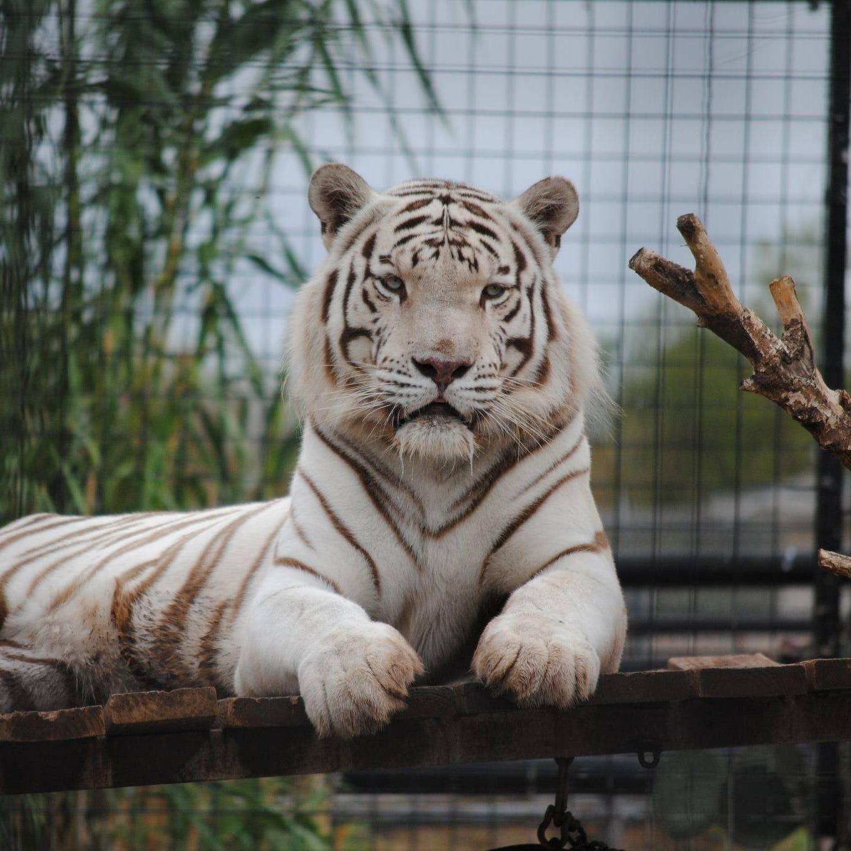 Abilene Zoo Bengal tiger Havar dies unexpectedly