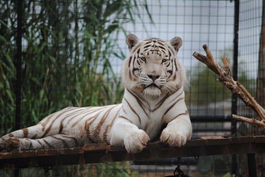 DECEASED Abilene Zoo Bengal tiger Havar