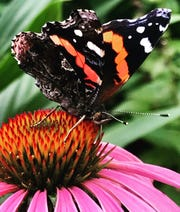 Butterflies native to Wisconsin, like this Red Admiral, will be featured in the walk-through Butterflies & Blooms exhibit coming to Green Bay Botanical Garden this summer.