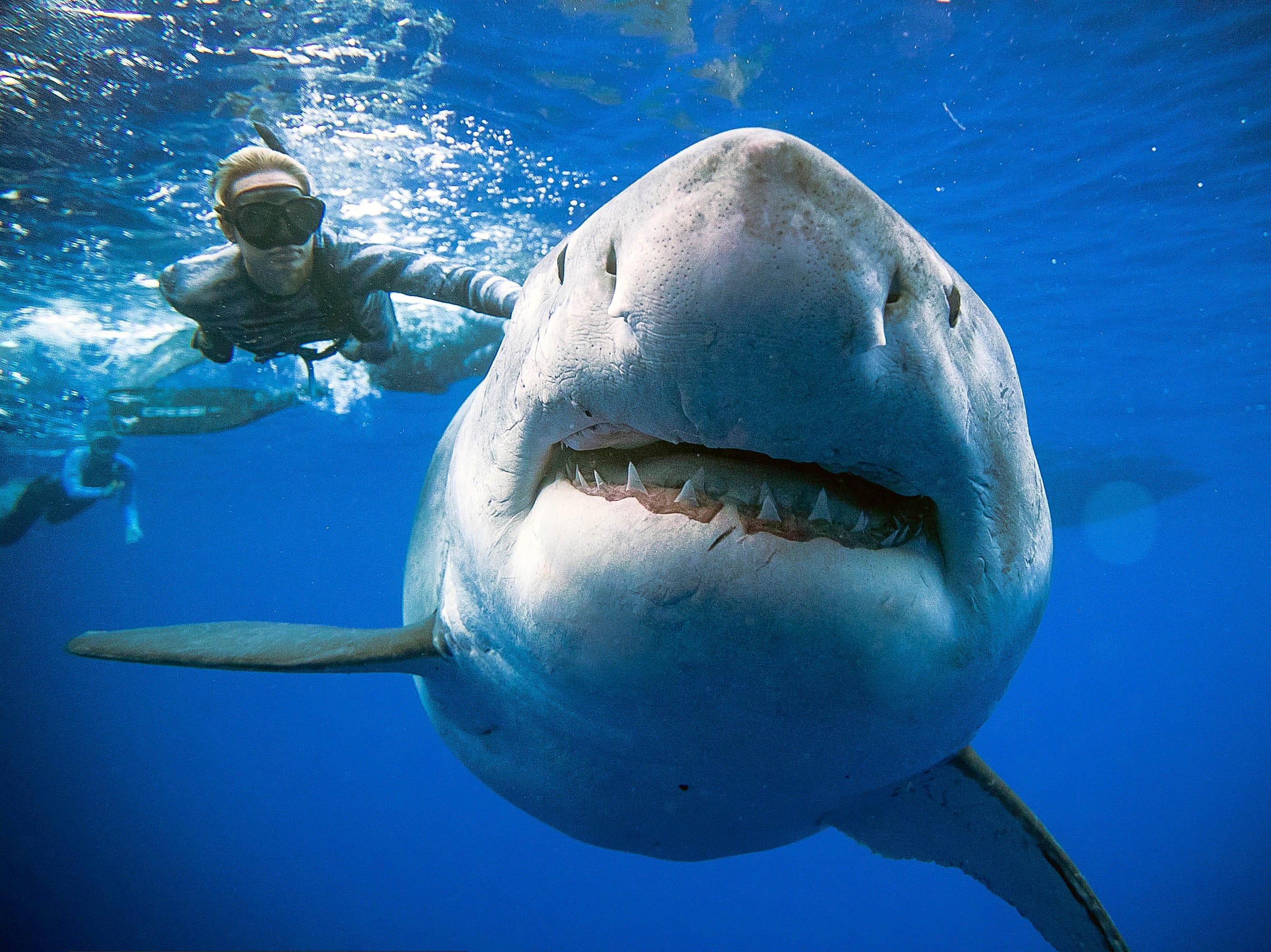 In this Jan. 15, 2019 photo provided by Juan Oliphant, Ocean Ramsey, a shark researcher and advocate, swims with a large great white shark off the shore of Oahu.  Ramsey told The Associated Press on Thursday, Jan. 17 that images of her swimming next to a huge great white shark prove that these top predators should be protected, not feared. (Juan Oliphant via AP)