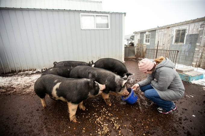 Emily Harold, a West Branch senior and owner of Natural Oak Pork, feeds pigs acorns on Thursday, Jan. 17, 2019, at their farm in West Branch, Iowa. Harold started her business in 2016.