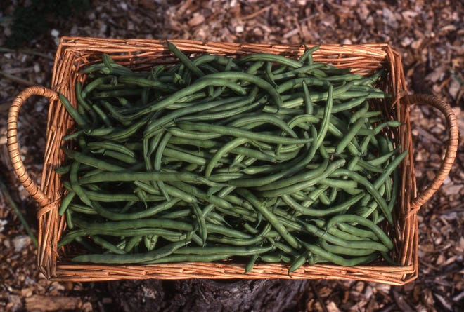 Green beans are second to tomatoes for plants in the home garden. They are fast growers and can produce a summer and fall crop.