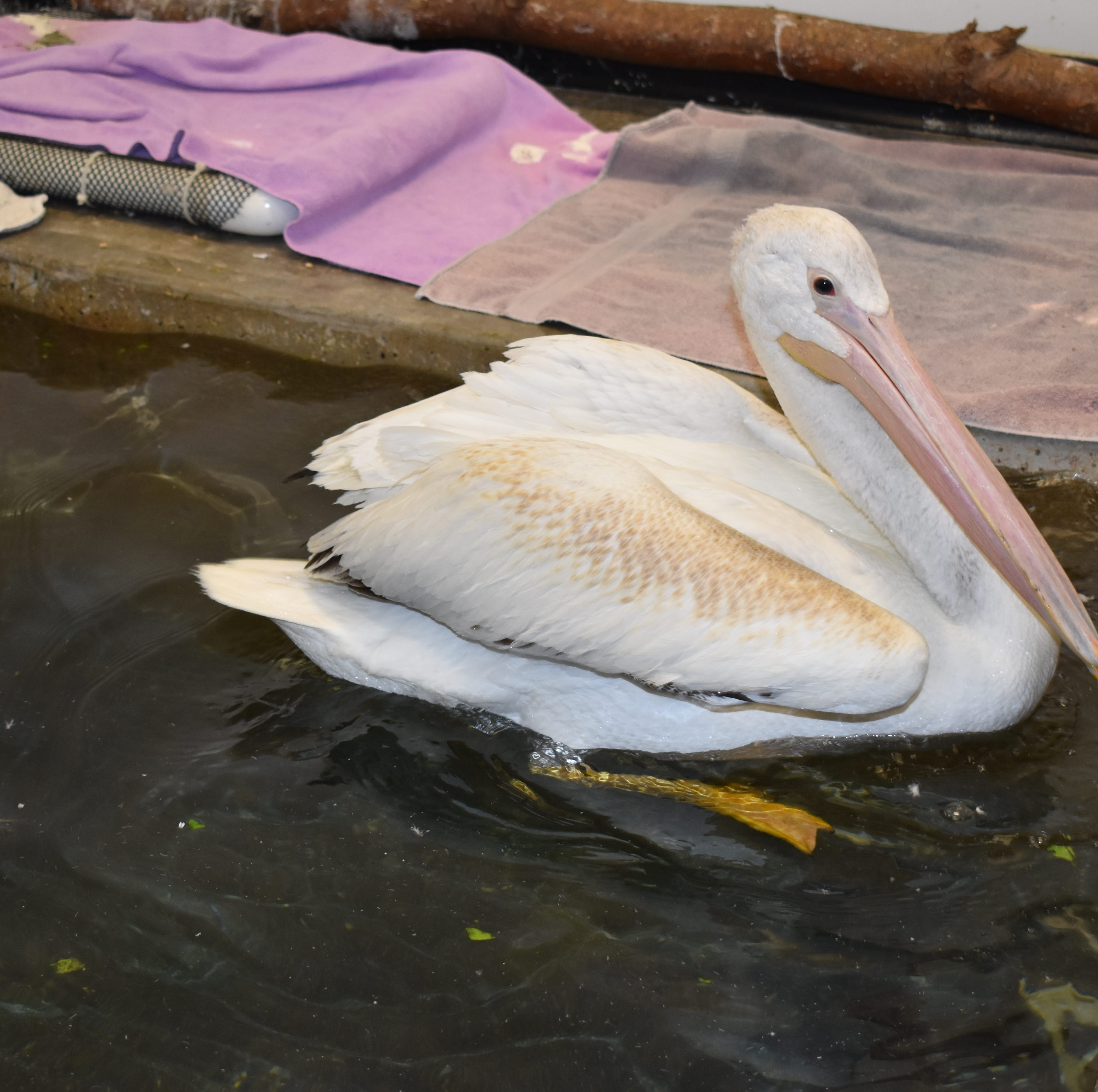 A pelican was nursed back to health in the town of Ottawa. It can't leave until the government reopens.