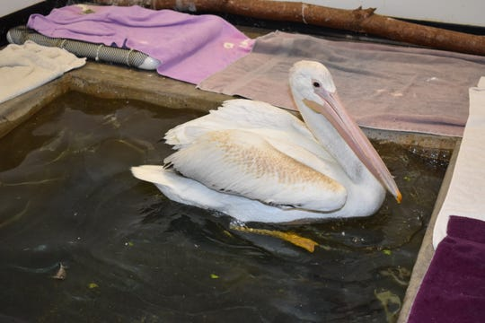 Gus the Pelican was brought back to health by the Wildlife in Need Center in Ottawa.