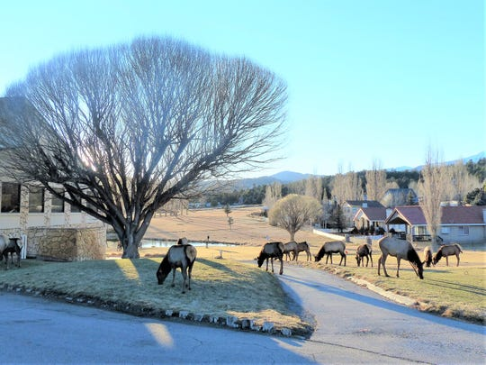 The golf cart pathway at Cree Meadows Golf and Country Club in Ruidoso was occupied by a herd of amply-proportioned elk.