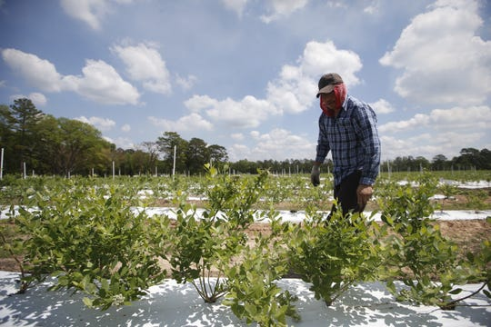 Fernando Jose tends to Bud Chiles' blueberry crop at his farm, where Chiles has converted 50 acres of his father's old hunting refuge into cropland.