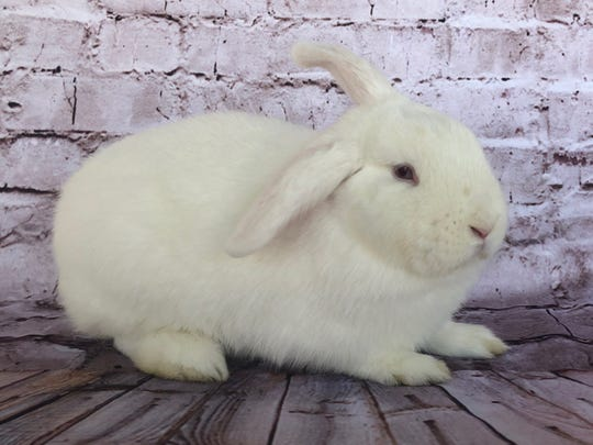 A file photo of a bunny up for adoption.