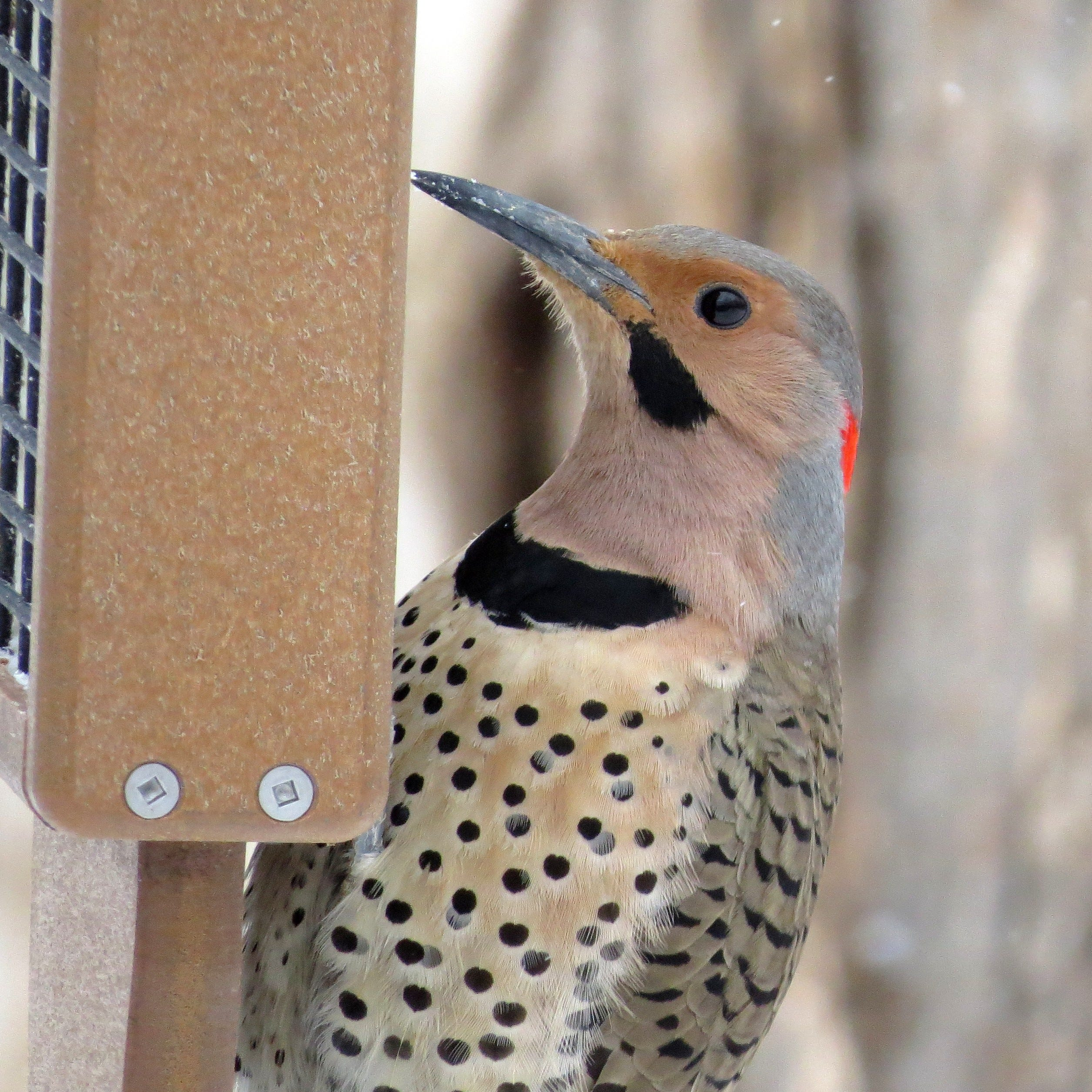 Northern flicker beautiful and helpful