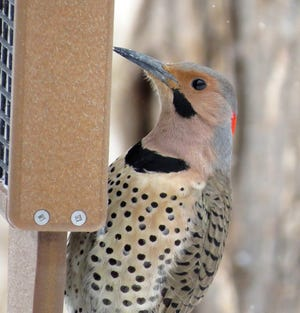 The Northern flicker is a fairly common woodpecker that will visit a suet feeder, but also loves berries found on native trees and vines in the winter.  Poison Ivy berries are a favorite food of this bird.