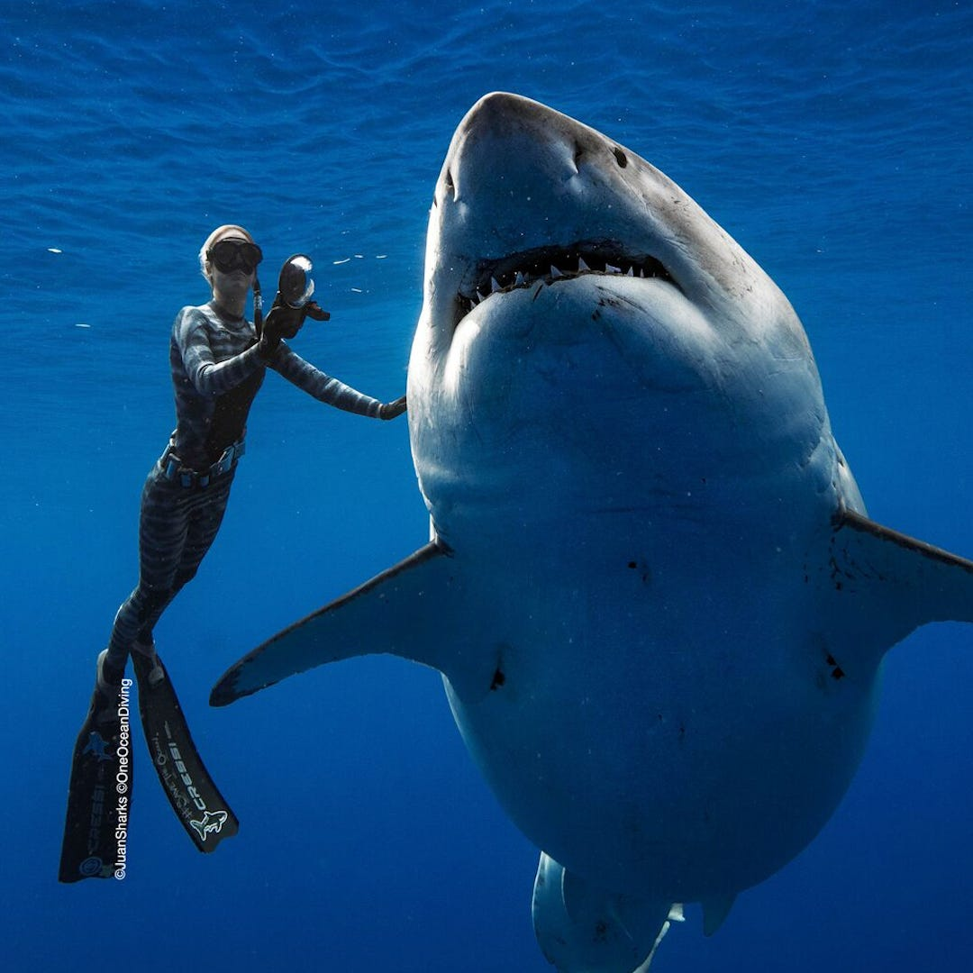 """Professional divers believe this shark is """"Deep Blue,"""" one of the largest great whites on record."""