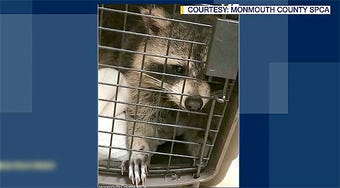 A Belmar woman is recovering after she was attacked by a raccoon behind her 8th Avenue home.