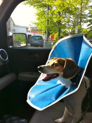 Desi rides home after surgery to remove a stye near his eye in May 2012. That cone is not one of a silence, but one of bewilderment. And it didn't last a day.