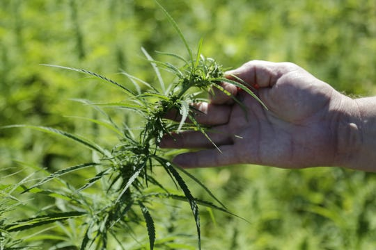 Ron Turco, a professor of agronomy at Purdue University, displays a hemp plant growing at Meigs Farm, part of Throckmorton Purdue Agricultural Center south of Lafayette, Indiana. Turco says hemp crops could thrive in Indiana.