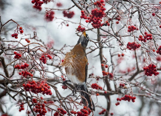 A robin pecks at a frozen berry after a sleet storm in Muncie Saturday morning.