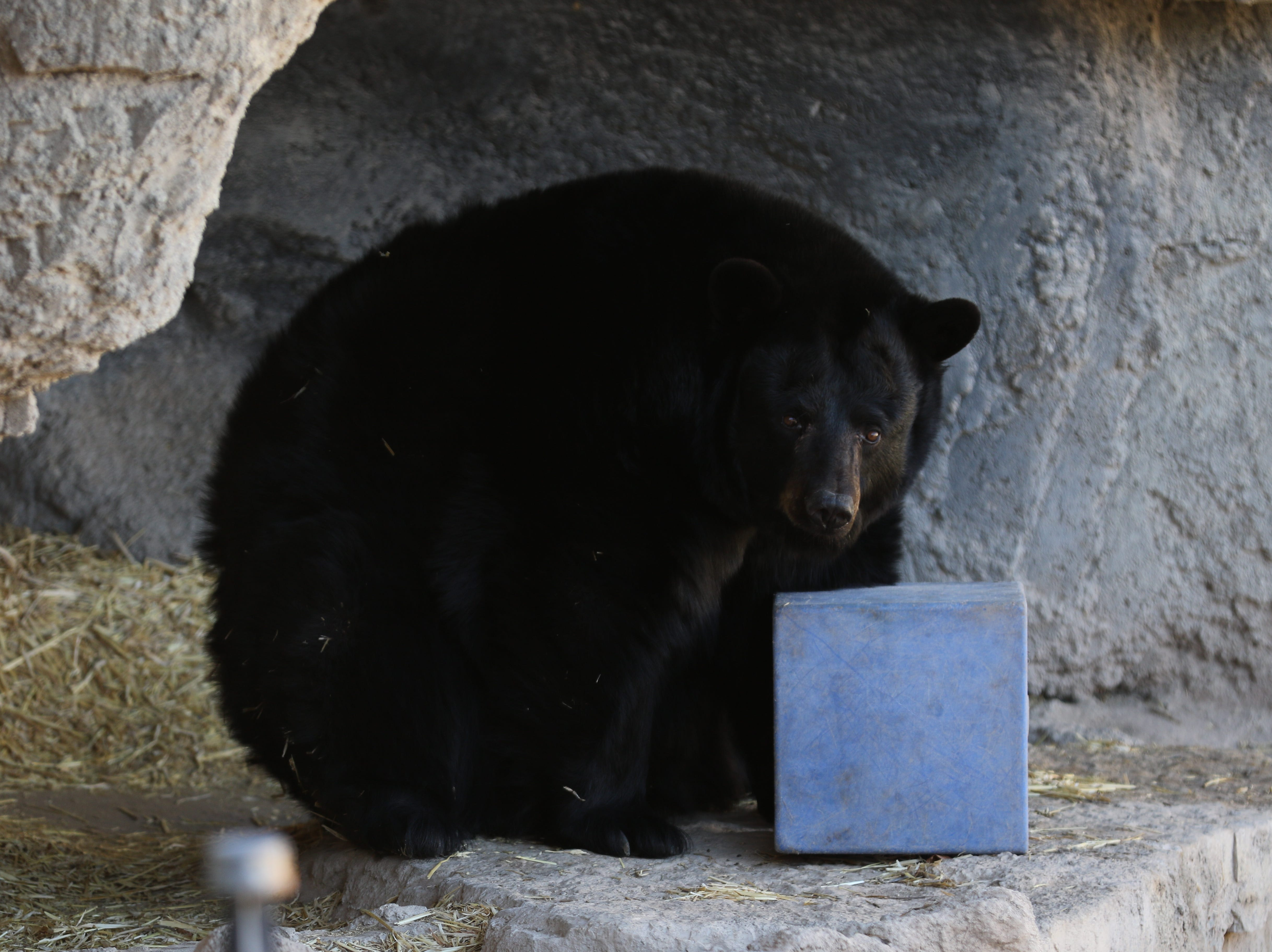 Maggie the bear enjoy's her 14th birthday, Jan. 19, 2018 at the Living Desert Zoo and Gardens State Park.