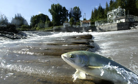One of thousands of pink salmon trapped below Puget Sound Energy's old wooden Buckley diversion dam on the White River near Buckley, Wash., struggles to migrate upstream to spawn Aug. 27, 2007.
