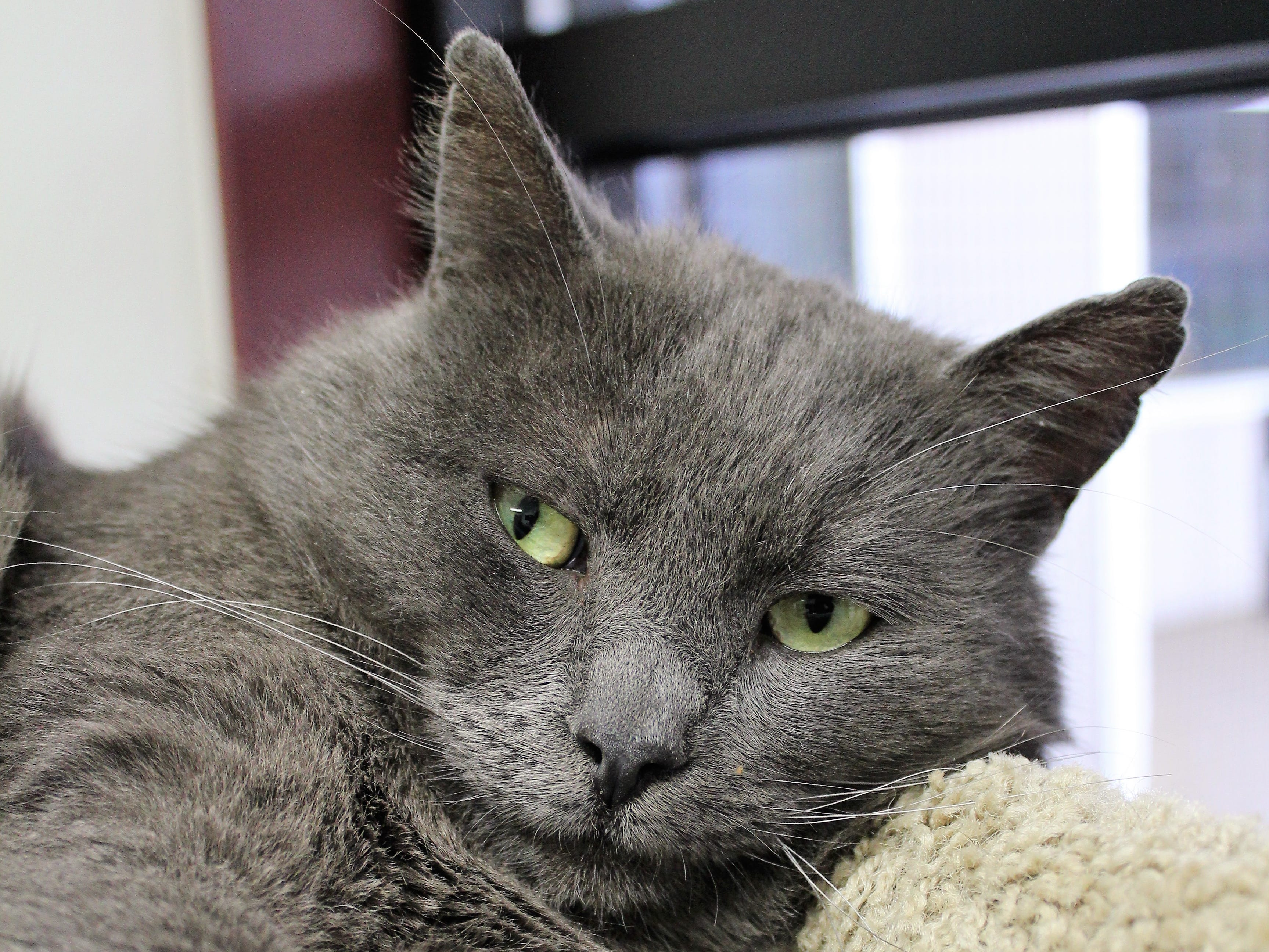 Momoa is a 3-year-old shorthaired cat. He was living as a stray cat, so not much is known about his past. Momoa does get along nicely with other cats and he has an amazing play style. To find out more, call Willamette Humane Society at 503-585-5900 or visit www.whs4pets.org.