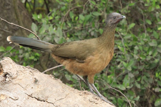 The plain chachalaca is a fairly large-sized species of tropical bird that can be seen along the western seaboard of the Gulf of Mexico.