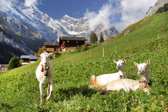 Life is good in Switzerland's Gimmelwald, even for sunbathing goats.