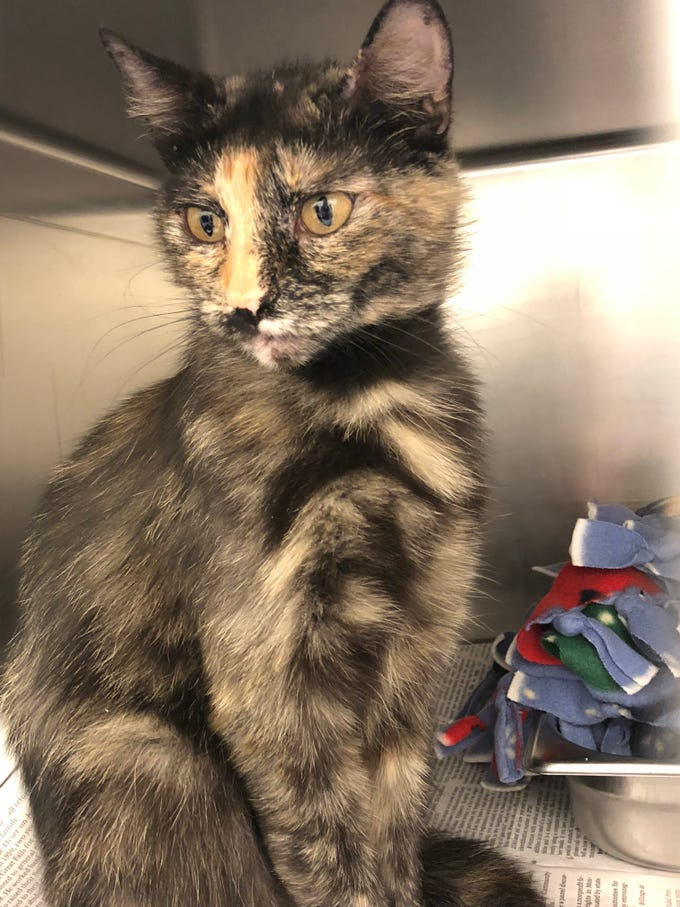 Name: Blossom Intake #  10982        Spayed Female          DSH                       Age: About 3 Years    Tortoiseshell