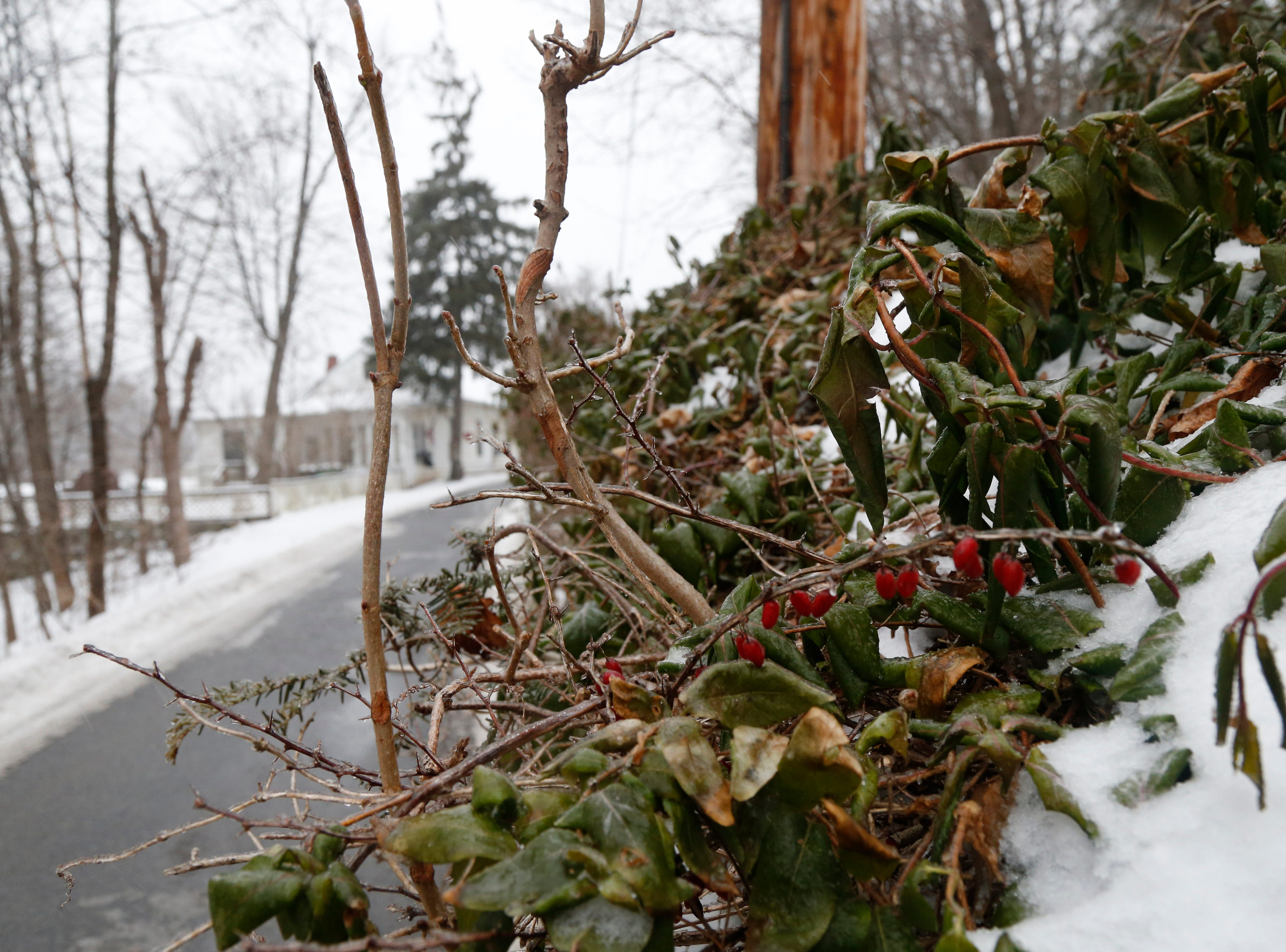 Some greenery along Reservoir Place as freezing rain falls in the Village of Wappingers Falls on January 20, 2019.