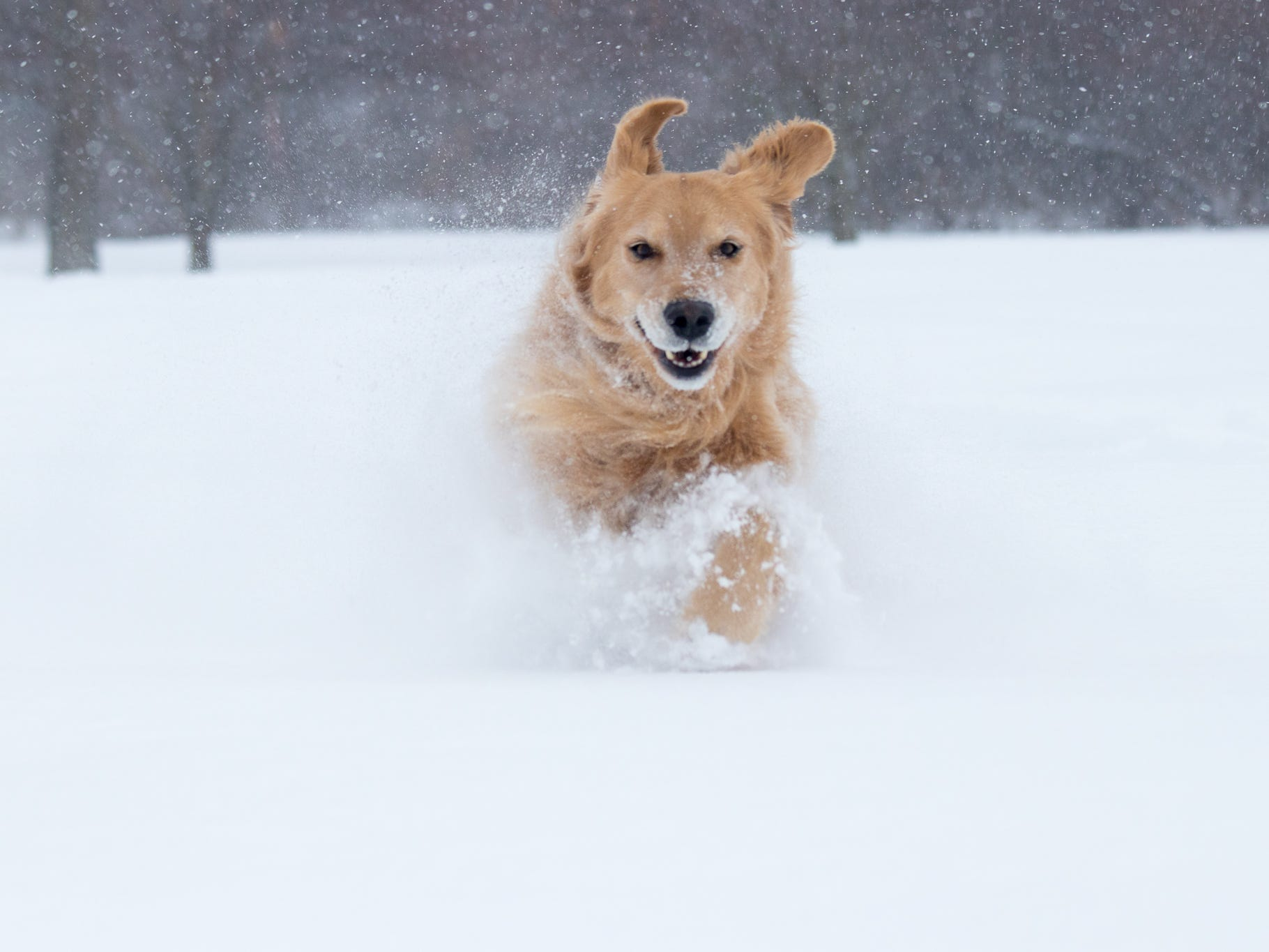 Griffey the golden retriever dashes through the snow in Hilton on Jan. 20, 2019.