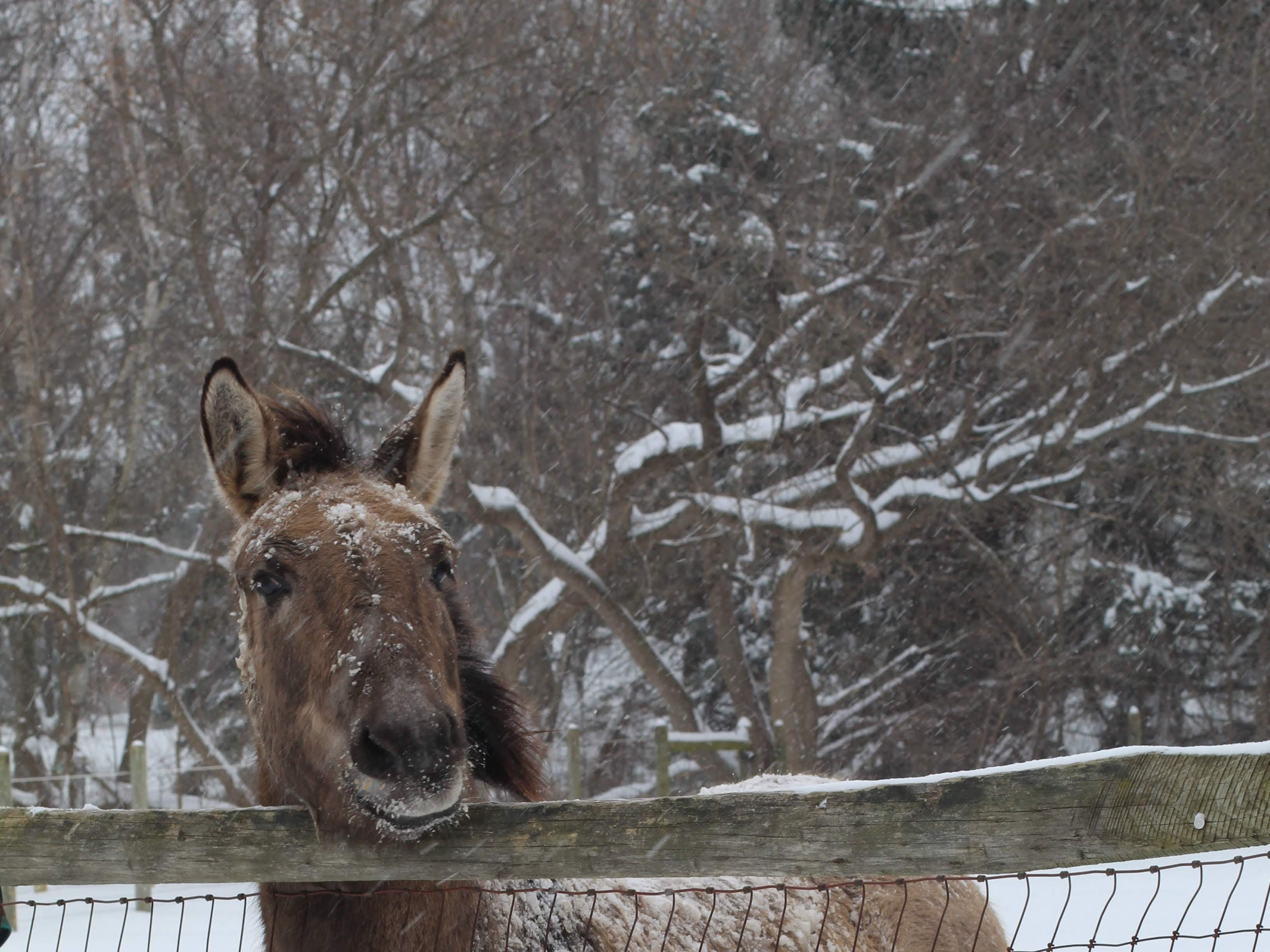 A donkey at Lollypop Farm Jan. 20, 2019.