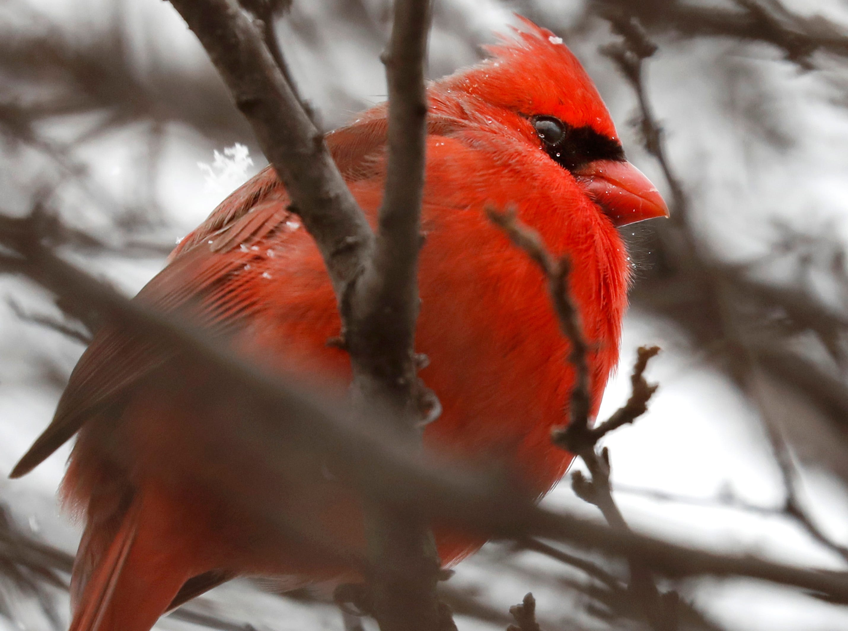 Snowflakes fall on a cardinal as it rests on a branch Thursday, Jan. 17, 2019, in Appleton, Wis.