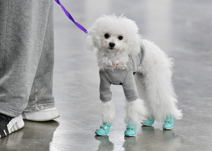 Banana, a toy poodle, belonging to John Hua and Teresa Tang of Rochester Hills wears some dog shoes made by the couple at the Michigan Winter Dog Classic at the Suburban Collection Showplace in Novi on Jan. 20, 2019.