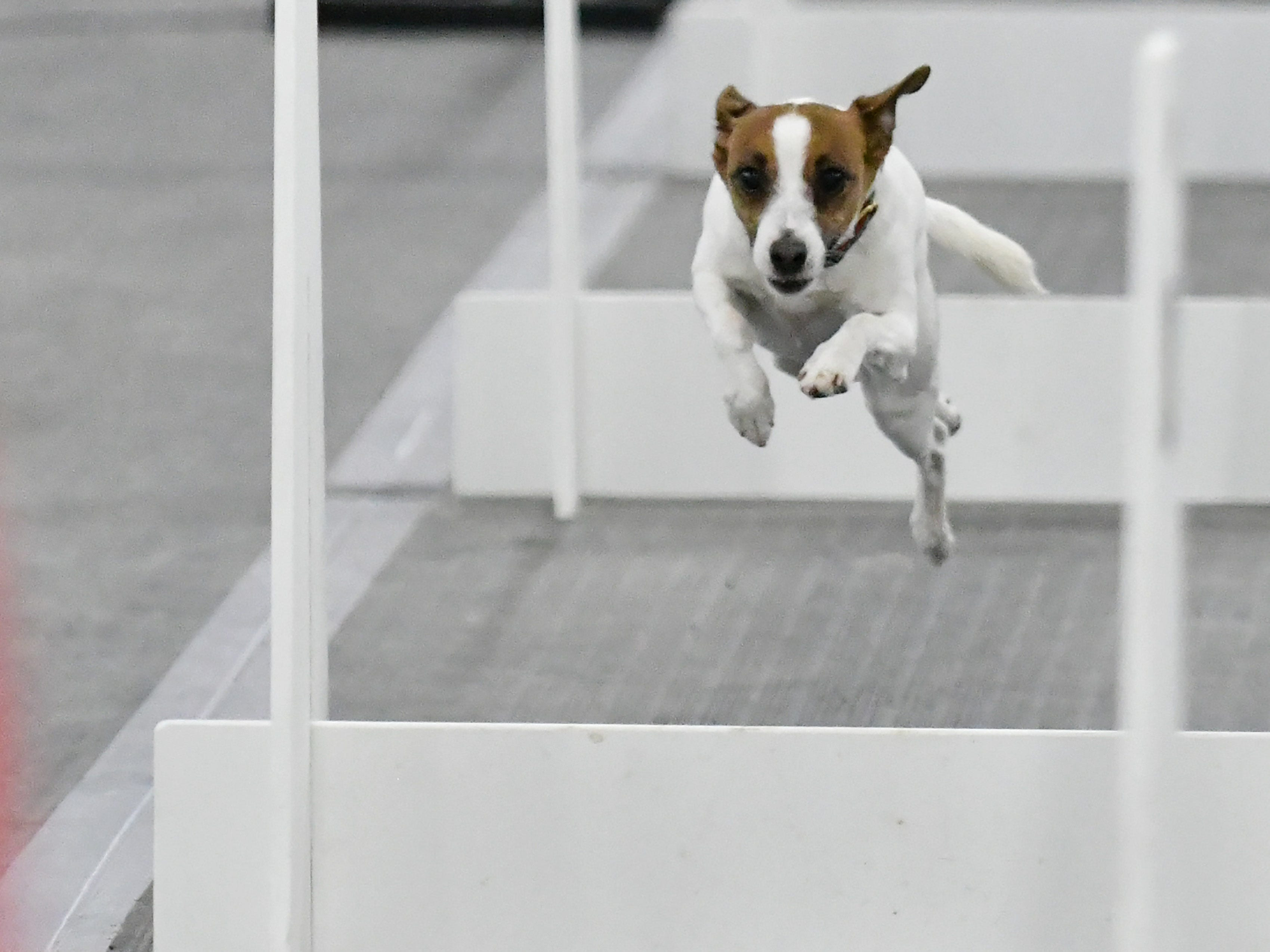 Saywyn, a Jack Russell terrier, runs in a race for the Fur in a Blur team.