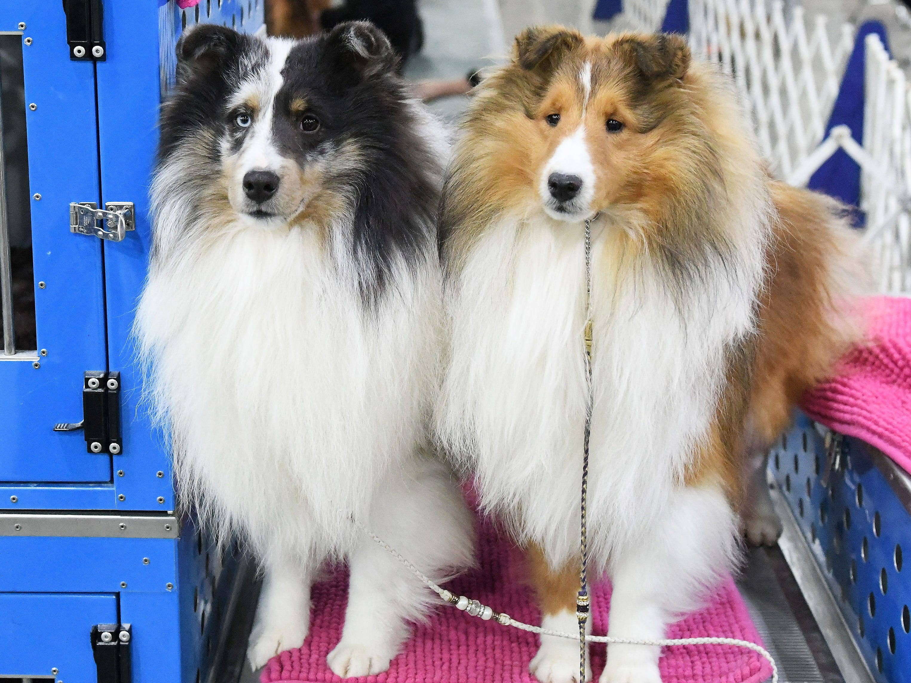 Blake, a sable and white sheltie, right, poses for a photo with Levi, a blue merle sheltie, pose for a photo.