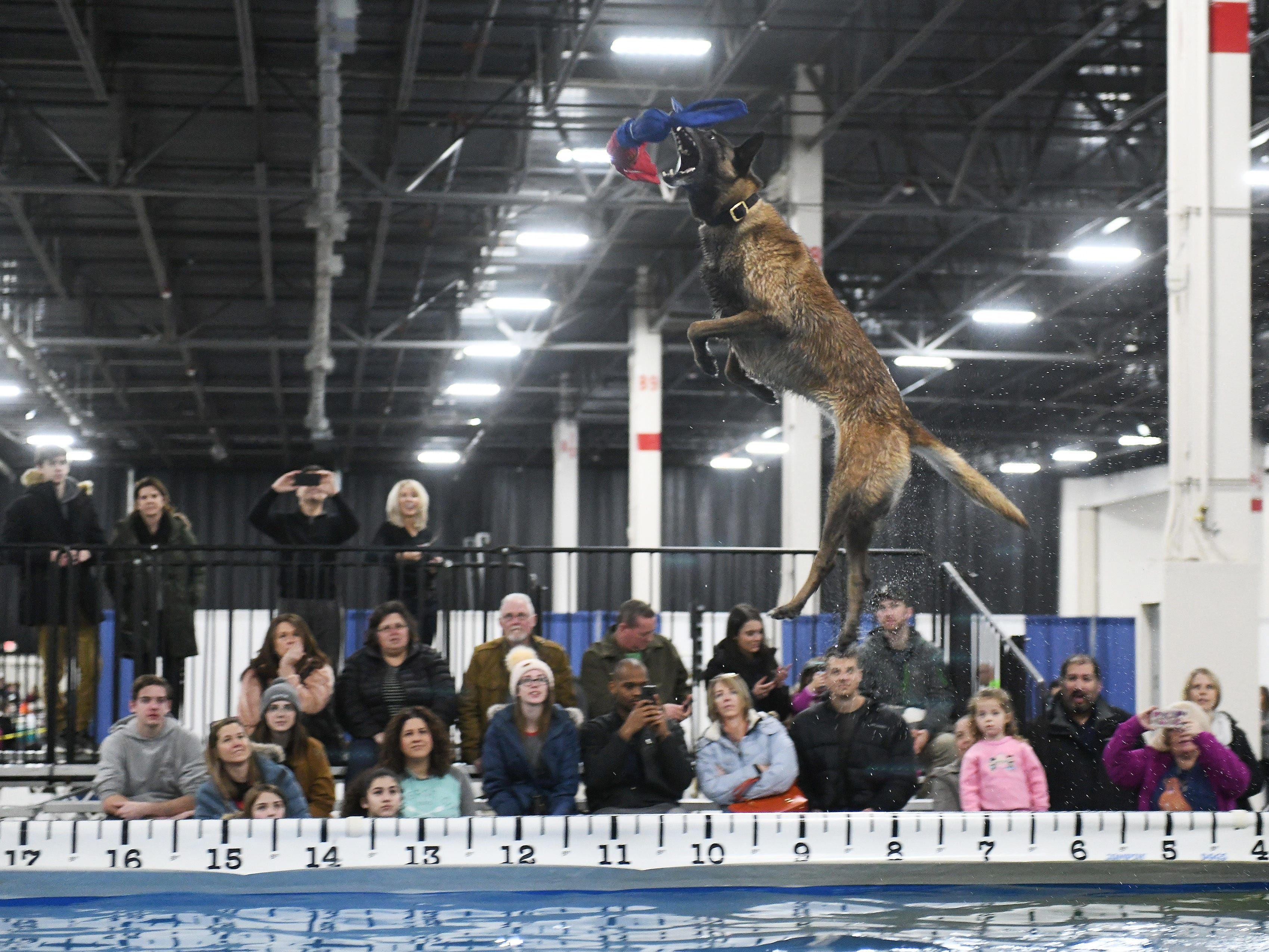 Sweet G, a Belgian Malinois, belonging to Jim Ross of Toledo grabs her toy mid-air as part of the dock diving competition at the Michigan Winter Dog Classic at the Suburban Collection Showplace in Novi on Jan. 20, 2019.