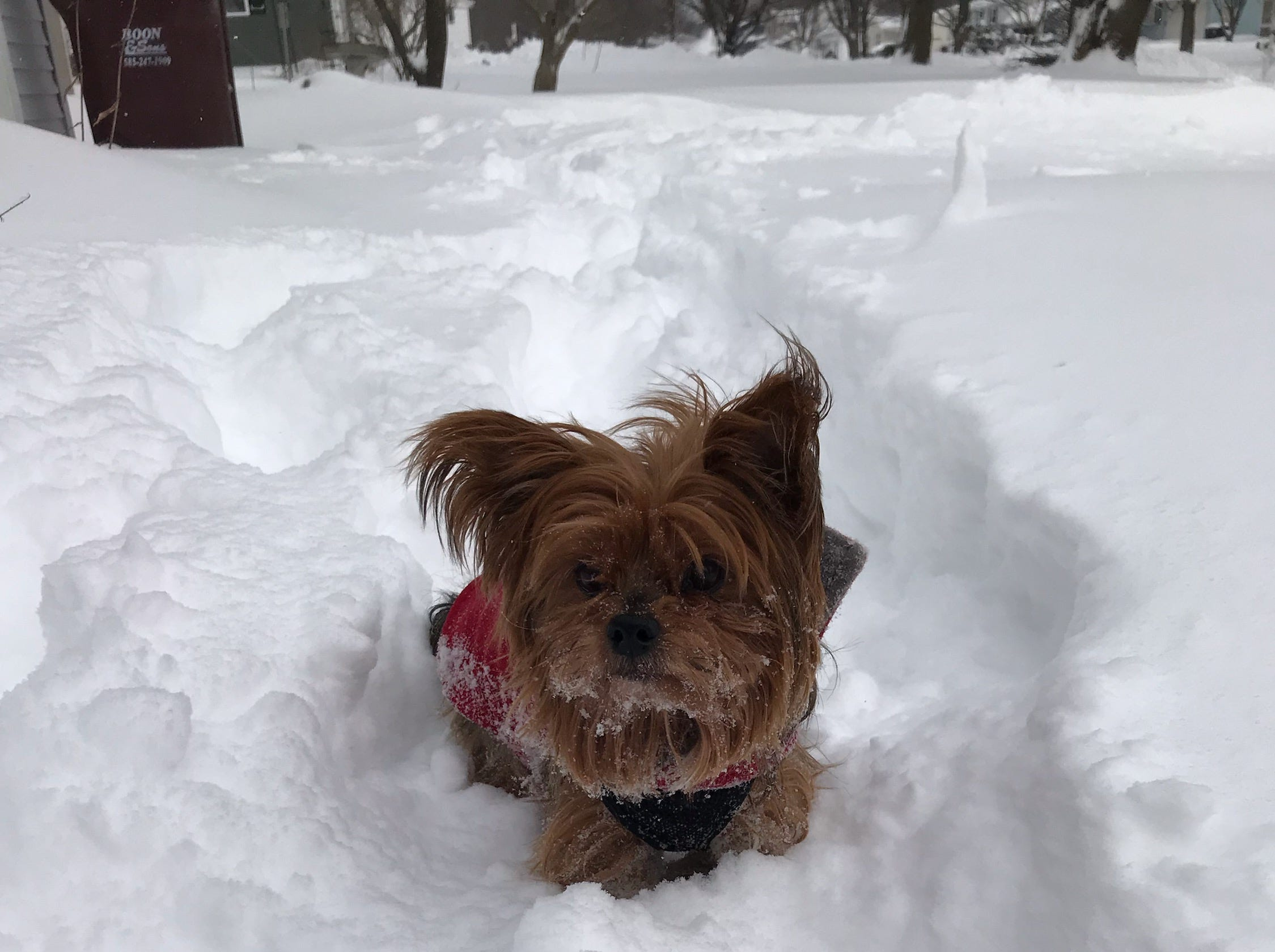 Bogie the Yorkshire terrier. Photo by Eric Gustavson.