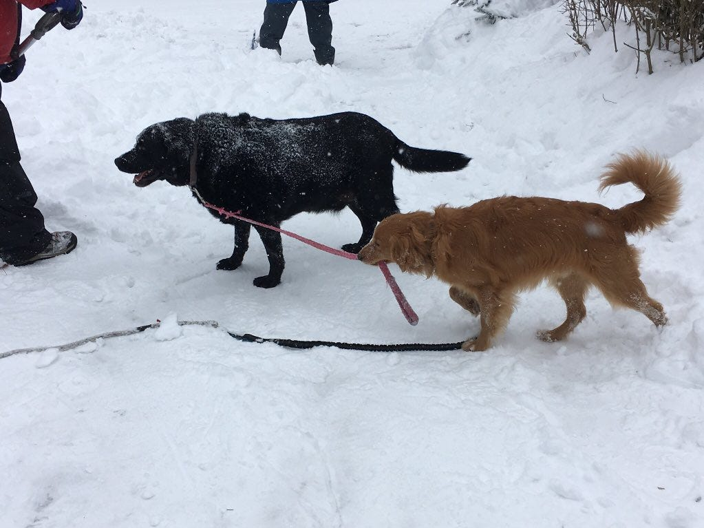 Murphy tries to walk his brother Guinness while his humans shovel. Photo by @MrJonesIHS on Twitter