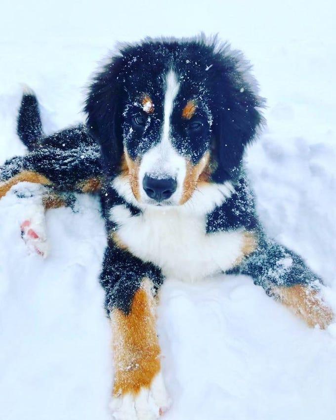 Tallulah the puppy in Penfield. Photo by Jodi Ruggieri Johnson.