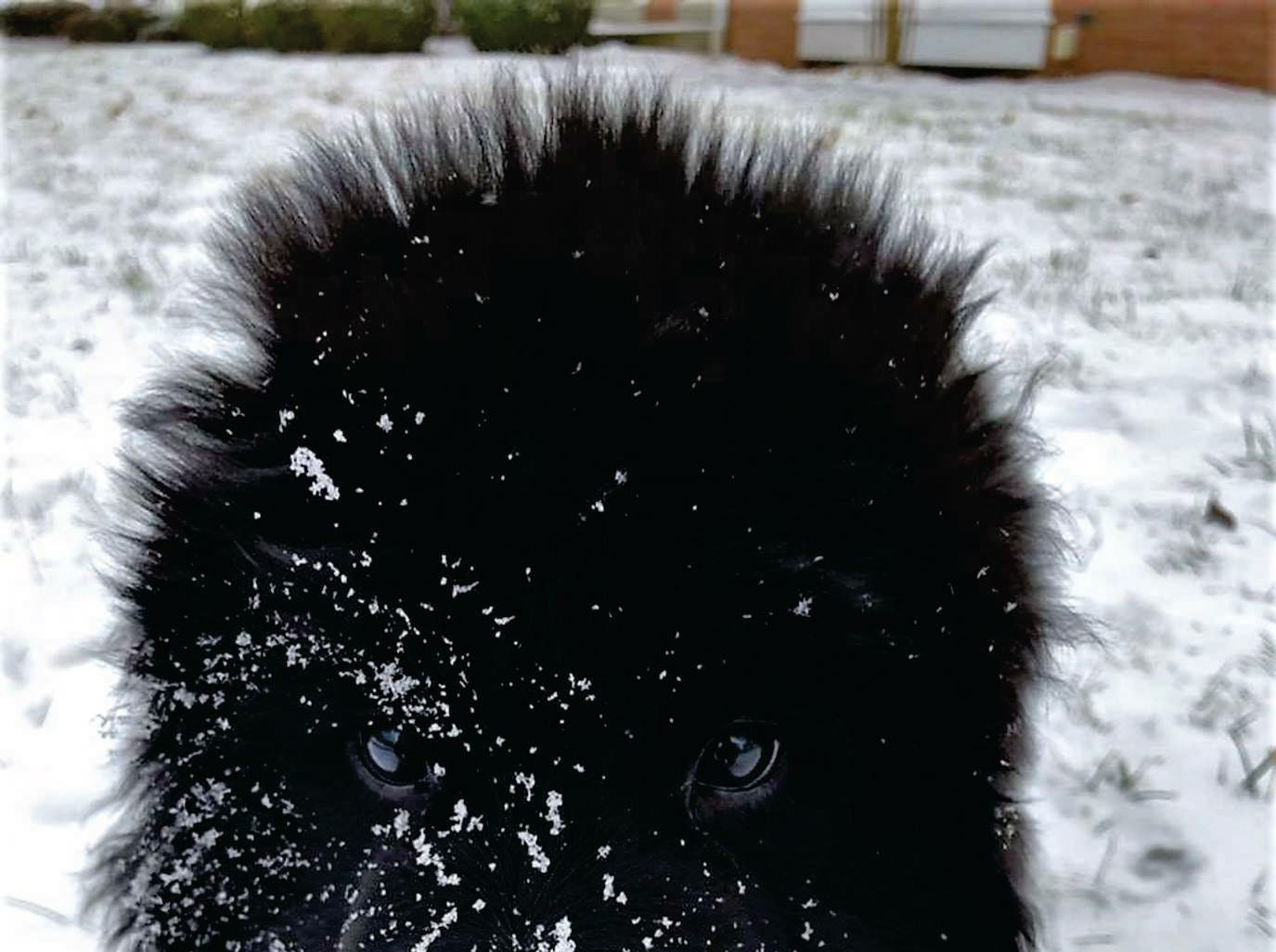 Raegan the Newfoundland in his first snow. Photo by Bruce Forsyth.